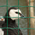 Barnacle goose in captivity stock photo © michaklootwijk