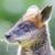 kangaroo wallaby close up portrait stock photo © michaklootwijk