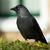 karga · doğa · kuş · tüy - stok fotoğraf © michaklootwijk