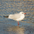 black headed gull stock photo © michaklootwijk