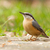 a nuthatch on the ground stock photo © michaklootwijk