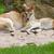 two kangaroos resting stock photo © michaklootwijk