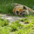 large spotted hyena resting stock photo © michaklootwijk