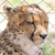 cheetah in captivity stock photo © michaklootwijk