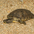 água · doce · tartaruga · imagem · fora · água · natureza - foto stock © michaklootwijk