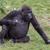 bebek · goril · kadın · oturma · beton · hayvan - stok fotoğraf © michaklootwijk
