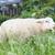 羊 · いくつかの · 雲 · 草 · 雲 · 青空 - ストックフォト © michaklootwijk