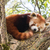 red panda napping stock photo © michaklootwijk