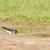 swallow tachycineta bicolor gathering nesting material stock photo © michaklootwijk