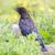 uçan · siyah · karga · kanat - stok fotoğraf © michaklootwijk
