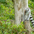ring tailed lemur in captivity stock photo © michaklootwijk