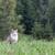любопытный · области · серый · волка · животного - Сток-фото © michaklootwijk