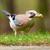 a jay bird garrulus glandarius stock photo © michaklootwijk