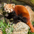 the red panda firefox or lesser panda stock photo © michaklootwijk