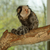 a tufted eared marmoset stock photo © michaklootwijk