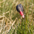 黒 · 白鳥 · 頭 · 種 · 南東 - ストックフォト © michaklootwijk