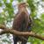retrato · isolado · branco · Águia · fundo · pássaro - foto stock © michaklootwijk