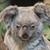 koala · tener · árbol · australiano · animales - foto stock © michaklootwijk