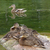 Wild duck with duckling at stone stock photo © michey