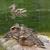 wild · eend · eendje · steen · liefde · kind - stockfoto © michey