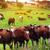 marrom · vacas · alimentação · grama · grama · verde · cara - foto stock © mikdam
