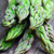 asparagus stock photo © mikdam