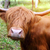 sığırlar · atış · çim · doğa - stok fotoğraf © mikdam