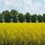 panorama of blooming rape field stock photo © mironovak