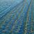 branco · jacinto · campo · agrícola · flor - foto stock © mironovak