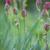 belo · tulipas · campo · primavera · natureza - foto stock © Moravska