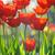 belo · tulipas · campo · primavera · tempo · sol - foto stock © Moravska