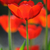 beautiful blooming tulips field in spring stock photo © moravska