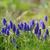 jacinto · primavera · jardim · flor · grama · natureza - foto stock © Moravska