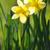 belo · amarelo · narcisos · primavera · luz · do · sol - foto stock © Moravska