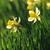 belo · amarelo · primavera · jardim · ensolarado - foto stock © moravska