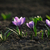 açafrão · primavera · grama · verde · inverno - foto stock © Moravska