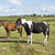 horses in a field near to the river shannon stock photo © morrbyte
