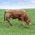 скота · зеленая · трава · Ирландия · трава - Сток-фото © morrbyte