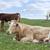 irish cattle feeding on the lush green grass stock photo © morrbyte