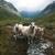 ovejas · escandinavia · valle · hierba · naturaleza - foto stock © motttive