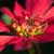 Red Poinsettia Close-up stock photo © mroz