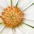 白 · アフリカ · デイジーチェーン · 花 · 自然 · 庭園 - ストックフォト © mroz