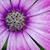 afrikai · százszorszép · virág · természet · kert · minta - stock fotó © mroz