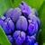 kék · jácint · rügy · közelkép · makró · lövés - stock fotó © mroz