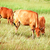 vacas · gado · criação · terreno · cidade · céu - foto stock © muang_satun