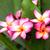 pembe · çiçekler · güzel · nadir · çiçek · doğa - stok fotoğraf © muang_satun