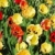 Tulips bed stock photo © Musat