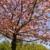 Вишневое · дерево · цветы · розовый · Blue · Sky - Сток-фото © Musat