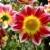 Geel · dahlia · bloem · bloesem - stockfoto © musat