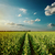 cloudy sunset over green field with sunflowers stock photo © mycola